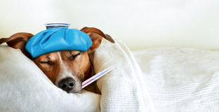 Sick ill dog. Jack russell dog sleeping in bed with high fever temperature, ice bag on head, thermometer in mouth, covered by a blanket Stock Image