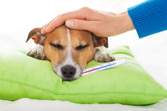 Sick ill dog. Owner  petting his dog, while he is sleeping or resting  , feeling sick and ill with temperature and fever, eyes closed Stock Photo
