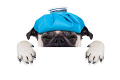 Sick ill dog. Pug  dog  with  headache and hangover with ice bag or ice pack on head,  suffering and crying ,behind banner or placard,  isolated on white Stock Photography