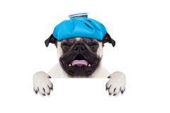 Sick ill dog. Pug  dog  with  headache and hangover with ice bag or ice pack on head,  suffering and crying ,behind banner or placard,  isolated on white Royalty Free Stock Images