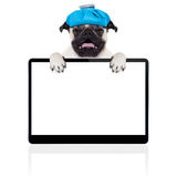 Sick ill dog. Pug  dog  with  headache and hangover with ice bag or ice pack on head,  suffering and crying ,behind pc computer screen or tablet,  isolated on Royalty Free Stock Photos