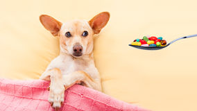 Sick ill dog. Resting and recovering in bed , headache or fever, pills on spoon Royalty Free Stock Photos