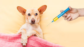 Sick ill dog. Resting and recovering in bed , headache or fever, thermometer in hand Royalty Free Stock Images