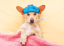 Sick ill dog. Resting and recovering in bed , headache or fever, thermometer in mouth and ice pack on head Royalty Free Stock Image