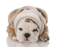 Sick or ill puppy Royalty Free Stock Photo