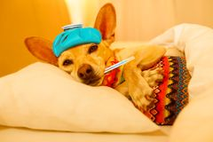 Sick ill sleeping dog. Sick and ill chihuahua  dog resting  having  a siesta or sleeping  with thermometer and hot water bottle Royalty Free Stock Photos