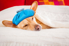 Sick ill sleeping dog. Sick and ill chihuahua  dog resting  having  a siesta upside down on his bed with his teddy bear,   tired and sleepy Royalty Free Stock Photo