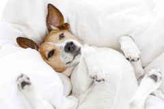 Sick ill or sleeping dog. Jack russell dog sleeping on the blanket in bed in bedroom, ill ,sick or tired, eyes open royalty free stock images