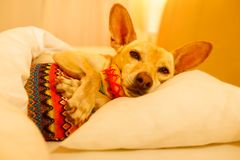 Sick ill sleeping dog. Sick and ill chihuahua  dog resting  having  a siesta or sleeping  with hot water bottle Stock Images