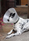 Sick injured old dalmatian dog no purebred wearing semi transparent flexible plastic protective collar Stock Photos