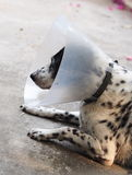 Sick injured old dalmatian dog no purebred wearing semi transparent flexible plastic protective collar Stock Photo