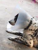 Sick injured old dalmatian dog no purebred wearing semi transparent flexible plastic protective collar Stock Photo