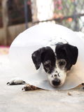 Sick injured old dalmatian dog no purebred wearing semi transparent flexible plastic protective collar Stock Image