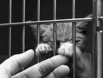 Sick kitten in a cage. Sad looking sick kitten in a cage with his paws on his carers fingers royalty free stock photography