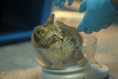 Sick kitten upon inspection by a veterinarian stock image