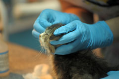 Sick kitten  upon inspection by a veterinarian Stock Photo
