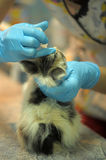 Sick kitten  upon inspection by a veterinarian Royalty Free Stock Photos