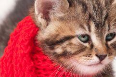 Sick kitten. Wrapped up in a warm knitted scarf close-up Royalty Free Stock Photography