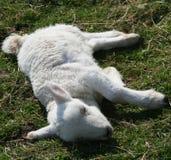 Sick lamb Stock Image