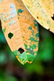 Sick leaf with brown spot fungus. Fungal leaf spot can be found in your outdoor garden as well as on your houseplant. Spotted leaves occur when fungal spores in Royalty Free Stock Images