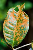 Sick leaf with brown spot fungus. Fungal leaf spot can be found in your outdoor garden as well as on your houseplant. Spotted leaves occur when fungal spores in Stock Photo