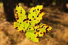 Sick Maple Leaf Royalty Free Stock Photography
