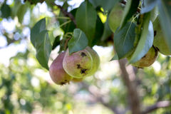 Sick pear fruit. On the tree Royalty Free Stock Photo