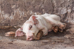 Sick pig in farm Stock Photography