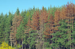 Sick pine trees Royalty Free Stock Photography