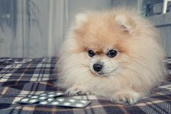 Sick Pomeranian puppy ate a lot of chocolate lying next to the pills for treatment after a visit to the veterinary Royalty Free Stock Photos