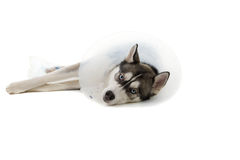 Sick Puppy Royalty Free Stock Photography