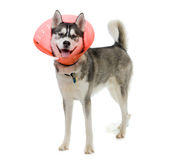Sick Puppy. Siberian Husky puppy wearing an e-collar isolated on white background Royalty Free Stock Photography