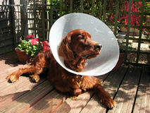 Sick redsetter wearing a cone. Dog wearing a veterinary Elizabethan collar to stop him biting his stitches Royalty Free Stock Images