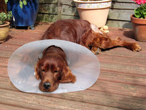 Sick redsetter wearing a cone Royalty Free Stock Images