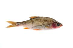 Sick Roach Fish (Rutilus Rutilus) Royalty Free Stock Photography