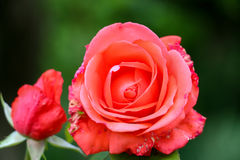 Sick rose flower in the garden royalty free stock photos