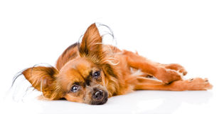 Sick russian toy terrier lying in front.  on white Royalty Free Stock Image