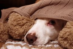 SICK OR SCARED DOG COVERED WITH A WARM  TASSEL BLANKET. SICK OR SCARED DOG COVERED WITH A WARM TASSEL BLANKET royalty free stock photo