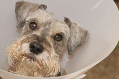 Sick schnauzer dog wearing elizabethan collar Stock Photography