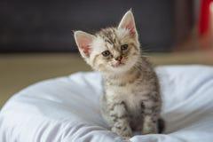 Sick shorthair kitten Royalty Free Stock Image