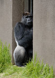 Sick silverback. A portrait of a sick silverback lowland gorilla in a zoo Royalty Free Stock Photos
