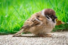 Sick Sparrow Bird Royalty Free Stock Photography