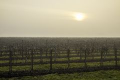 The sick sun struggles to penetrate the gray-white sky of the cold winter morning that envelops the sleeping vineyard royalty free stock photos
