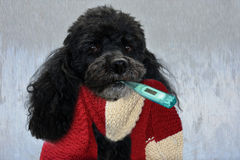 Sick toy poodle Stock Photo