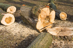 Sick tree felled. Sick felled tree with rotten interior, caused by root-rotting fungi ( Heterobasidion annosum Stock Photography