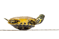 Sick turtle. Poor little turtle being sick and lying upside down Stock Photography