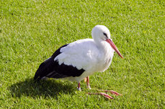 Sick white stork on grass Royalty Free Stock Photo