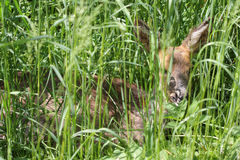 Sick young roe (Capreolus capreolus) Royalty Free Stock Image