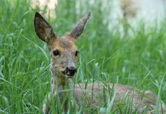 Sick young roe (Capreolus capreolus) Stock Images