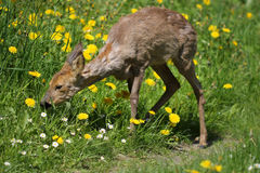 Sick young roe (Capreolus capreolus) Stock Photography